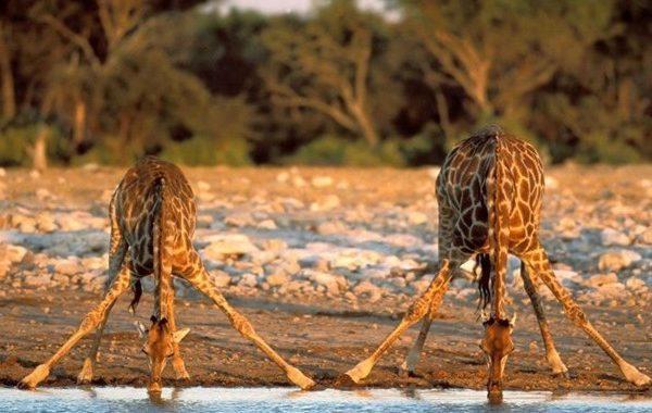 Giraff neck