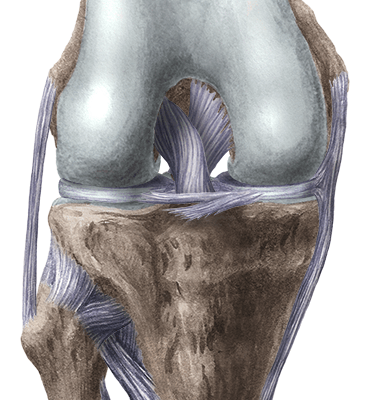 Knee flexed anterior